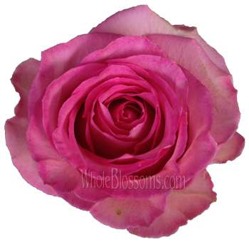 High and Candy Bicolor Organic Roses