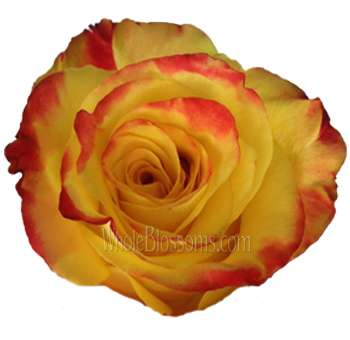 High and Yellow Flame Bicolor Organic Roses