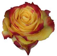 Hot Merengue Bicolor Organic Roses