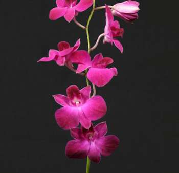 Hot Pink Dendrobium Orchid