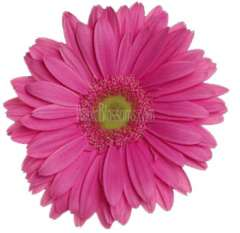 Dark Pink Gerbera | Light Center