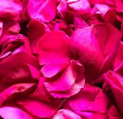 Hot Pink Rose Petals Preserved