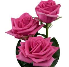 Hot Pink Roses Valentine's Day