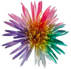 Spider Mums Rainbow Colors