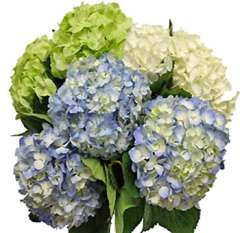 Hydrangeas Natural Assorted