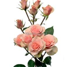 Valentine's Day Ilse Spray Roses