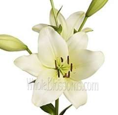 LA Hybrid Lily Ivory Colored Flowers