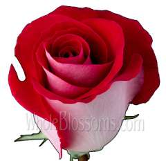 Latin Lady Red and White Rose
