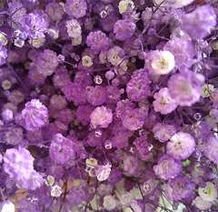 Baby's Breath Lavender Flower