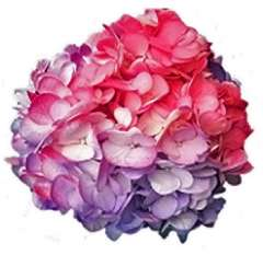 Tie Dye Purple and Hot Pink Hydrangea
