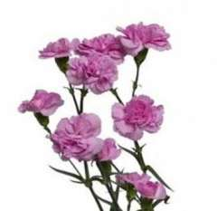 Spray Carnations Lavender Flowers