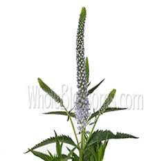 Lavender Veronica Flower