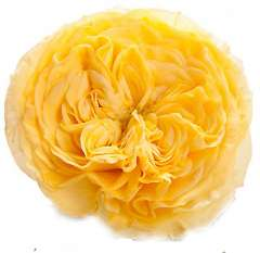 Lemon Pompon Yellow Garden Roses