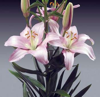 Bulk Pink Asiatic Lilies