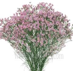 Limonium Tinted Light Pink Flower