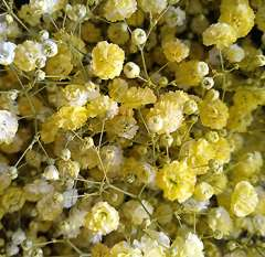 Baby's Breath Yellow Flowers