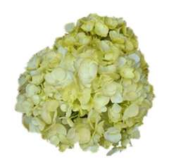 Light Yellow Airbrushed Premium Hydrangea