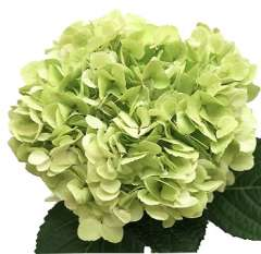 Lime Green Hydrangea Natural