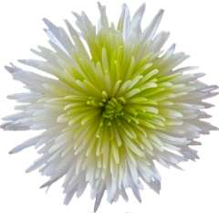 Lime Green Mums Center Anastasia Flower