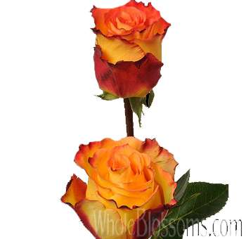 Lina Wholesale Roses