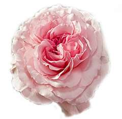 Mayra's Big Pink Garden Rose
