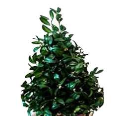 Fresh Evergreen Mini Tree Trio