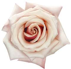 Mother of Pearl Light Pink Roses