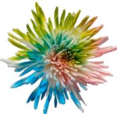 Spider Mums Multicolor Pink Blue Green