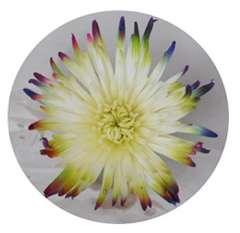Multicolored Spider Chrysanthemum