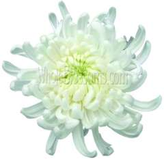 Mum Cremon White Flower