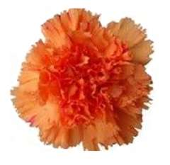 Orange Tinted Carnations for Valentine's Day