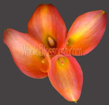 Orange Love Calla Lily Flower