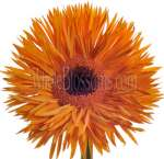 Orange Spider Gerber Daisy Flower