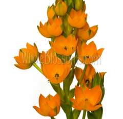 Star of Bethlehem Tinted Orange Flower