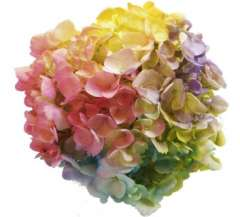 Order Tie Dye Multicolored Hydrangeas