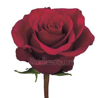 Organic Night Fever Roses