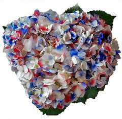 Patriotic Memorial Day Hydrangeas