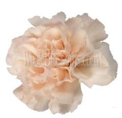 Peach Carnation Flowers