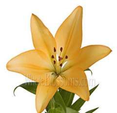 LA Hybrid Lily Peach Colored Flowers