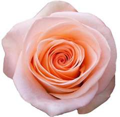 Comtesse Peachy Pink Rose