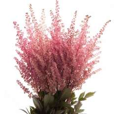 Fresh Cut Astilbe Pink Flowers