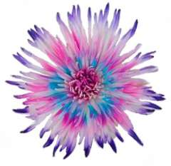 Pink-Blue & Purple Mums