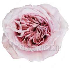 Pink Invitation Garden Rose