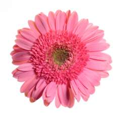 Pink Gerbera Flower | Light Center