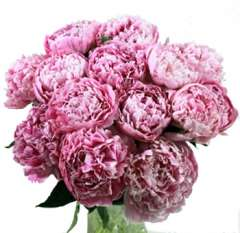 Dark Pink Peonies Flowers