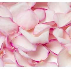 Pink Rose Petals for Valentine's Day