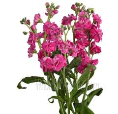 Stock Pink Flower