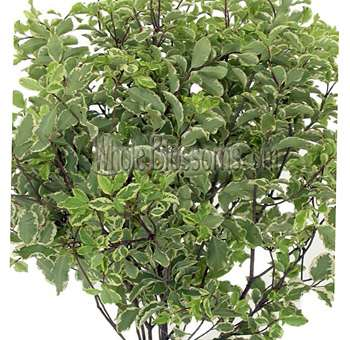 Italian Variegated Pittosporum