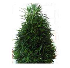 Podocarpus Fresh Cut Christmas Trees
