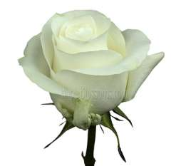 Proud White Rose